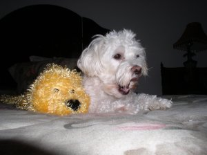 Our little dog, Chloe, a MaltiPoo, with her toy